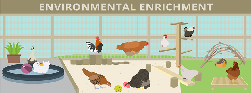 Environmental Enrichment for Chickens
