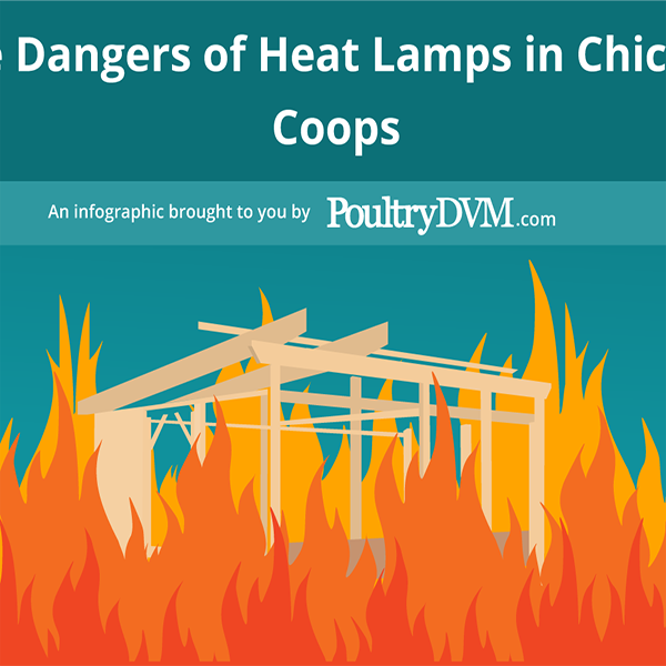 The Dangers of Heat Lamps in Chicken Coops