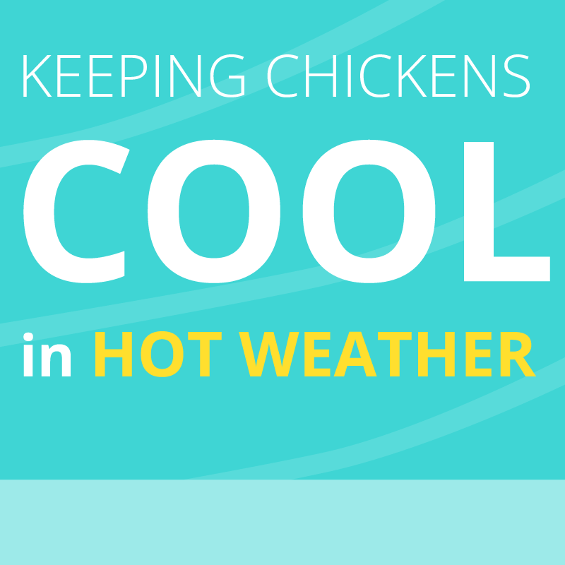 Keeping Chickens Cool in Hot Weather