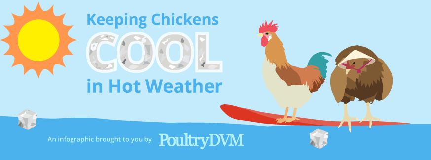 PoultryDVM Featured Infographic - Keeping Chickens Cool in Hot Weather